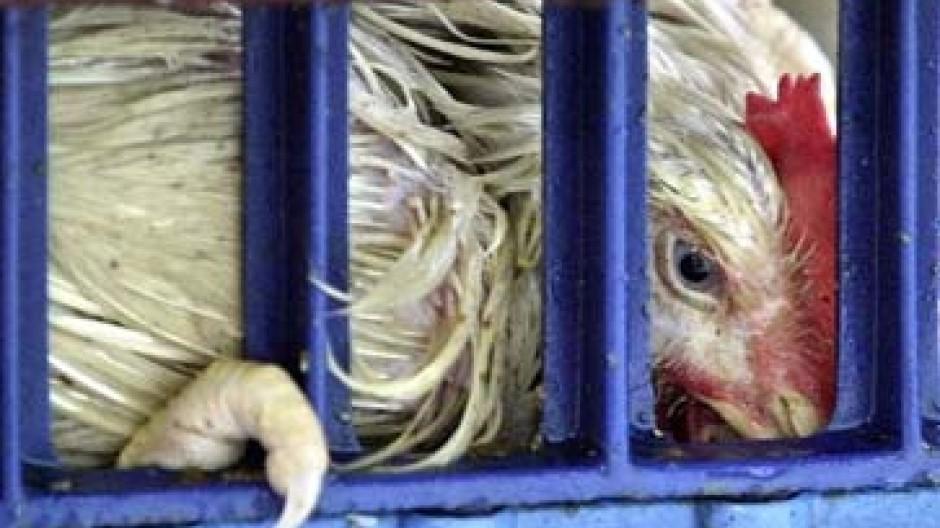 Vogelgrippe-Viren sind in Italien gefunden worden