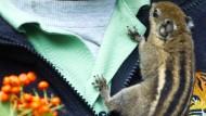 Dieb stiehlt Baumstreifenhörnchen aus Zoo
