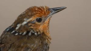 Ein Vogel, der Bach singt