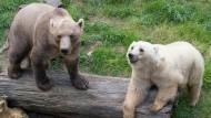 Zwei Mischbären, auch Hybridbären genannt, im Juni 2015 im Zoo in Osnabrück