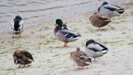 Enten Mitte November in Niedersachsen – in Dänemark sind auch Zuchtenten schon von der Vogelgrippe betroffen.