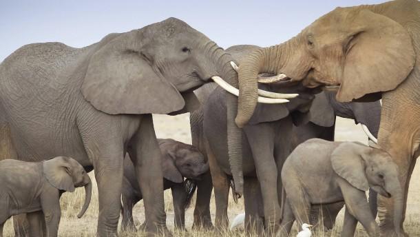 Bestände Afrikanischer Elefanten schrumpfen drastisch