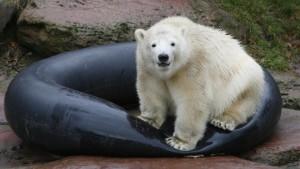Eisbär-Zwillinge starben an Darm-Krankheit