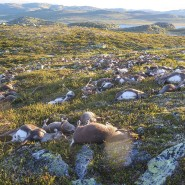 322 tote Rentiere: Das schockierende Bild wurde Ende August im norwegischen Hardangervidda-Nationalpark aufgenommen.