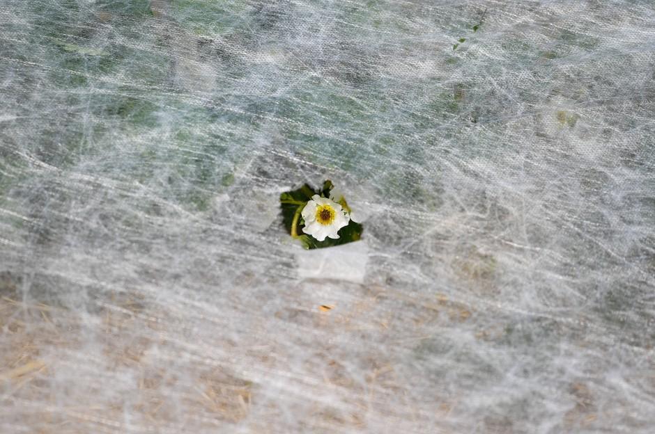 Frostschutzmaßnahmen Folie: Die Blüten einer Erdbeerpflanze sind am Donnerstag auf einem Feld bei Hofheim am Taunus durch ein Loch in einem Vlies zu sehen.