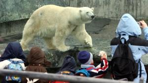 Verendeter Eisbär Anton hatte auch eine Puppe gefressen