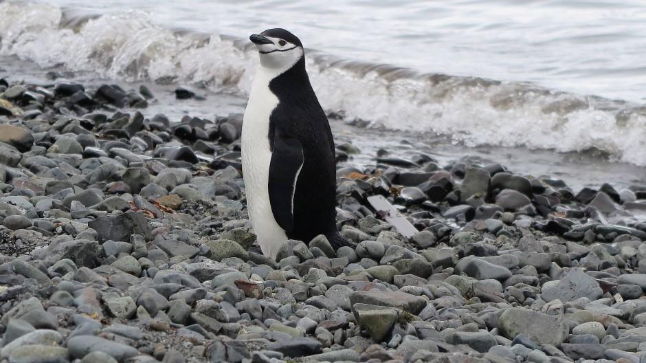 Pinguine bekommen die Folgen des Klimawandels zu spüren. Ist die Selbstidentifikation des Mannes mit seinem Penis Schuld? Ein vermeintlicher Fachartikel behauptet das.