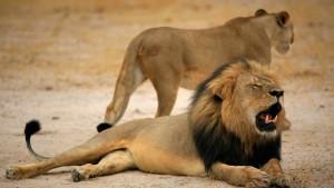 Sohn von Löwe Cecil von Jägern getötet