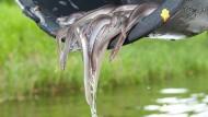 Schlüpfrig, lecker und in Gefahr: Aale