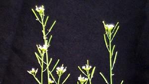 Genmanipulierte Pflanze spürt Landminen auf