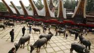 Während der Beisetzung in Toraja werden Büffel geopfert, um die Toten als Diener ins Jenseits zu begleiten. (Archivbild)