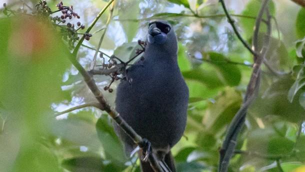 Neuseeland rettet Vogel vor dem Aussterben