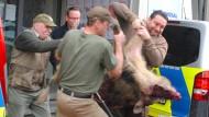 Das erlegte Wildschwein wird am Freitag in ein Fahrzeug vor einer Sparkassen-Filiale in Heide getragen.