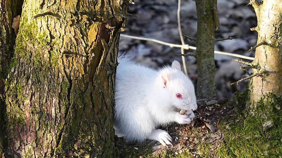 Ein seltenes Albino-Eichhörnchen sitzt auf einem Baum im englischen Sussex.