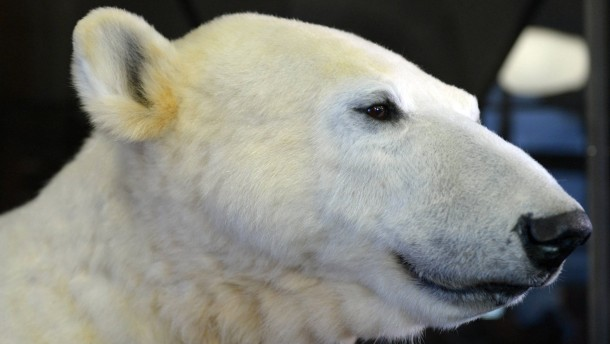 Plastik von Eisbär Knut präsentiert