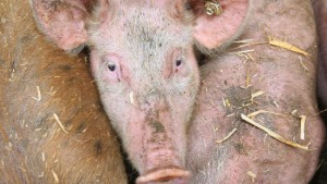 Mensch infiziert erstmals Schweine