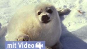 Rettung für Robbenbabys?