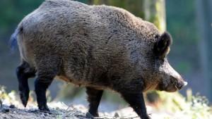 Unfälle mit Wildschweinen stark gestiegen