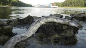 Kaum noch Aale in Europas Seen und Flüssen