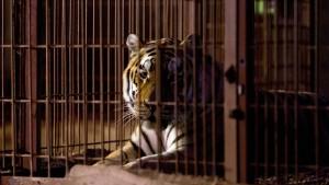Pfleger ließ Schleuse zu Tigerkäfig wohl aus Versehen offen