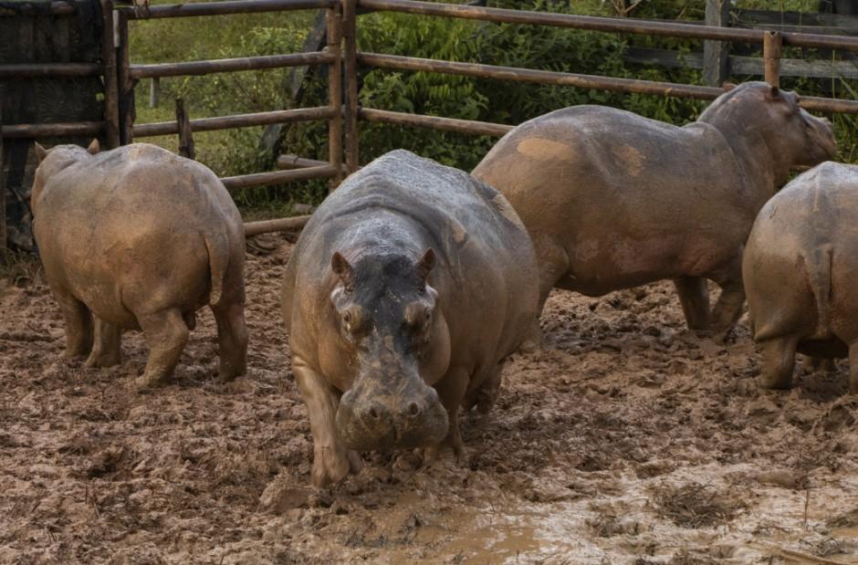 Dutzende Nilpferde auf Farm von Pablo Escobar sterilisiert