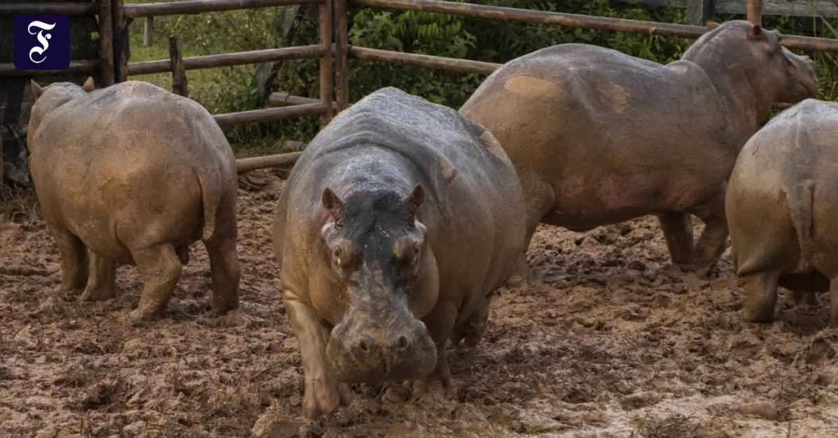 dutzende-nilpferde-auf-farm-von-pablo-escobar-sterilisiert