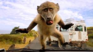 Zu viel Zucker für die Affen