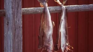 Kabeljau, Thunfisch, Schellfisch und Flunder im Nordatlantik bedroht
