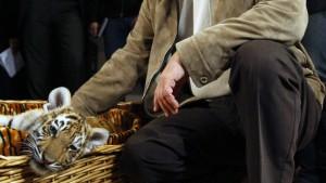 Putins freigelassener Tiger macht Tierschützern Sorgen