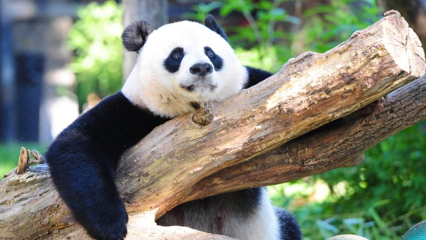 Der Riesenpanda ist nicht mehr vom Aussterben bedroht