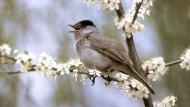 Angesichts der milden Winter in den vergangenen Jahren blieb mancher Zugvogel wie einige Mönchsgrasmücken auch zu dieser Jahreszeit in Deutschland.