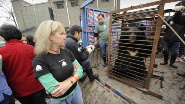 Bären leiden, weil ihre Galle als Heilmittel gilt
