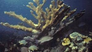 Korallenriffe in der Karibik weiter bedroht