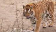 Tiger und Mensch - besser, man geht sich aus dem Weg.