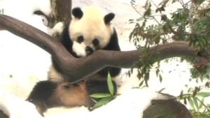 Schnee für Pandas
