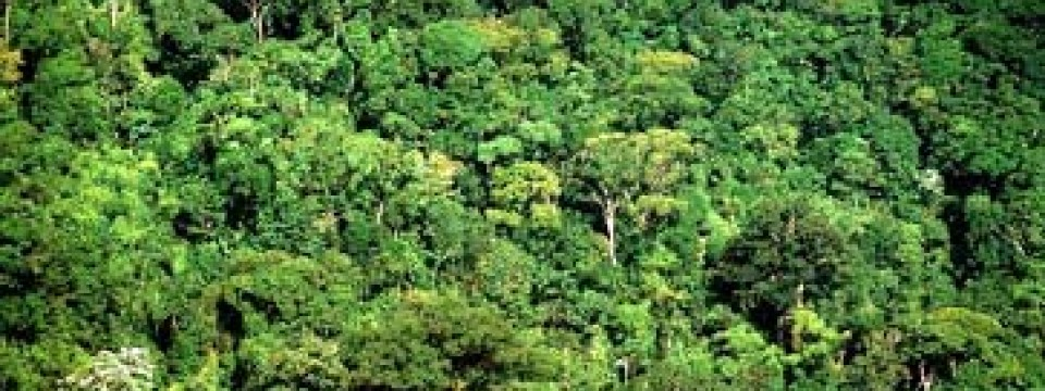 Mahagonibaum im regenwald  Brasilien: Greenpeace setzt Mahagoni-Mafia unter Druck ...