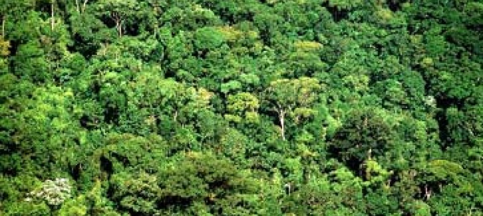 Mahagonibäume  Brasilien: Greenpeace setzt Mahagoni-Mafia unter Druck ...