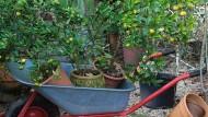Topfpflanzen auf dem Weg in ihr Winterquartier