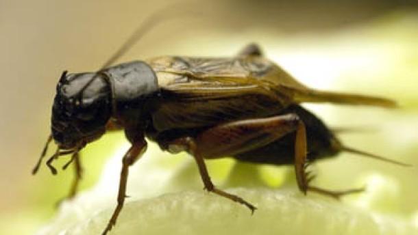 tiere das insekt des jahres 2003 die feldgrille. Black Bedroom Furniture Sets. Home Design Ideas