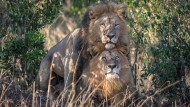 Liebesspiel zweier Löwen in Kenias Naturschutzgebiet Masai Mara