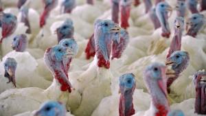 Gefährliche Vogelgrippe in Niedersachsen nachgewiesen