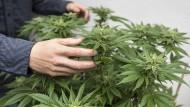 Eine Pflanze mit Wirkung: Viele Mediziner sind noch immer unsicher, wie sie mit dem Medikament umgehen sollen.
