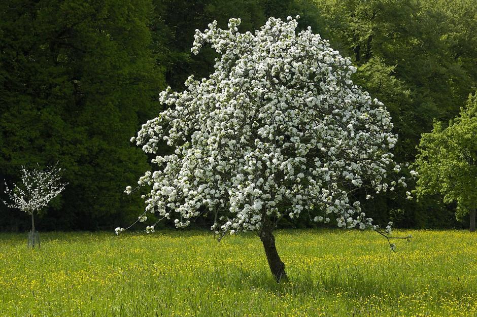 stammt der spruch ber den apfelbaum gar nicht von luther. Black Bedroom Furniture Sets. Home Design Ideas