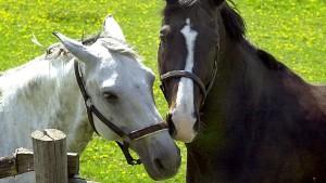Warum man besser ein weißes Pferd sein sollte