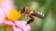 Die westliche Honigbiene: Apis mellifera.