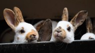 Bitte keine Schleife umbinden und erst recht keinen Namen geben! Die Venezolaner sollen Kaninchen nicht mehr als Haustiere sehen.