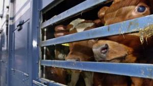 Hunderte Rinder werden nach monatelanger Irrfahrt notgeschlachtet