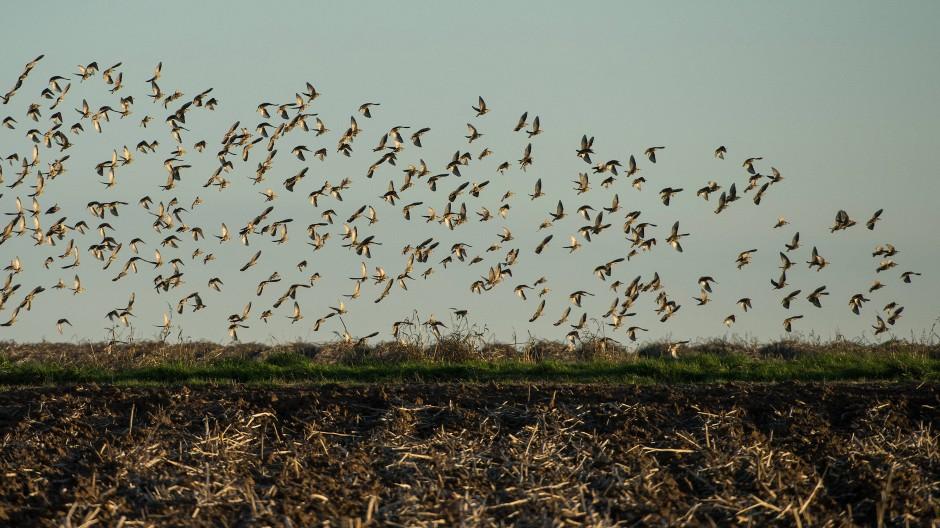 Wissenschaftler forschen seit langem an der Schwarmkoordination von Zugvögeln.