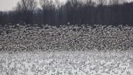 Tausende Wildgänse in Amerika verendet
