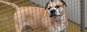 Petition gegen Chicos Einschläferung: Der Kampfhund zerfleischte zwei Menschen - und wurde zuletzt eingeschläfert.